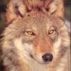 Wolf Roodsant