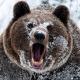 AK bear 12