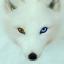 FOX короче северный