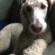 Poodle_Wrangler