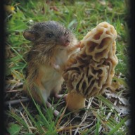 morel rat