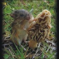 morel rat