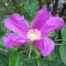 VTsnowflower