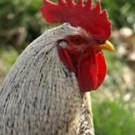 ChickenFreak