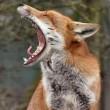foxishful