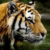 TigerrrRawr