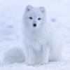 ArcticFox037