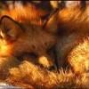 Red_Foxx15