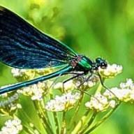 Dragonfly68