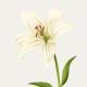 Lilly Shyree