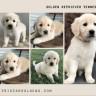 tristargoldens