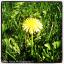 avatar for onelonedandelion
