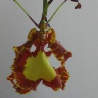 Orchidzrule