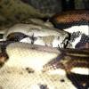 Recherche python royal Dans... - dernier message par Romain1609