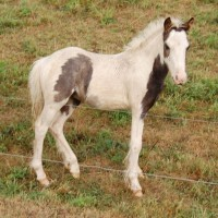 Miniature Gypsy Horse Association