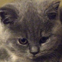 british shorthair kittens for sale in Portland Oregon
