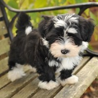 Willow Springs Havanese And Labradors Breeders Of