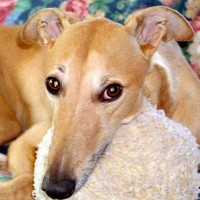 Greyhound Racing in Florida will end soon. What will happen to thousands of hounds?